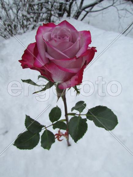 перечень планов розы в снегу шнайдер-трнавский решение Верховного