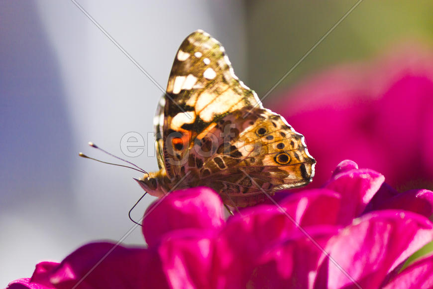 The butterfly on a flower collecting nectar on a bright sunny day