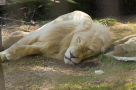 The big white lion lies and has a rest after night hunting